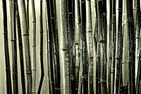 Bamboo Night